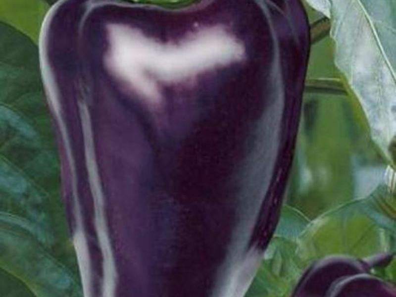 Сладкий перец Винни-Пух сорта, способы выращивания и сбора, отзывы специалистов