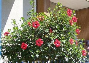 Цветы гибискус фото