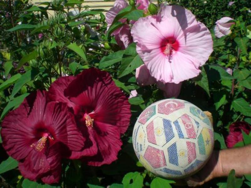Домашние цветы Гибискус