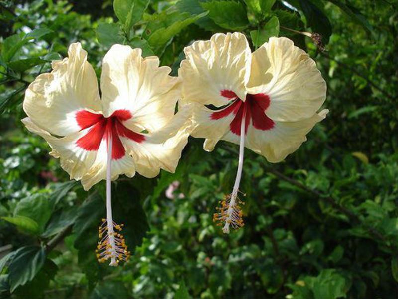 Период цветения гибискуса