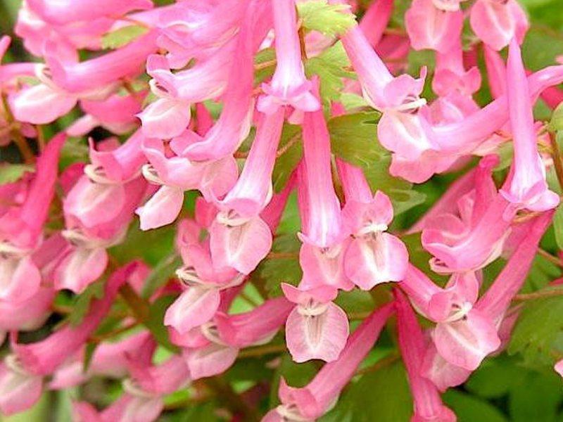 Хохлатки - изысканная красота весенних цветов