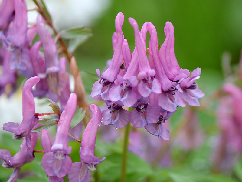 Одними из коротким периодом вегетации цветов, являются хохлатки