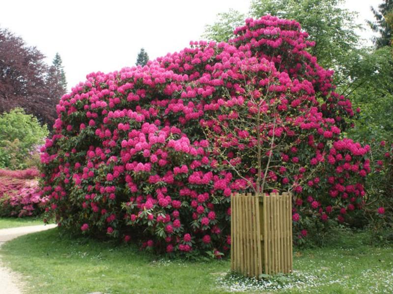http://klumba.guru/images/86306/elikolepie-rododendrona.jpg