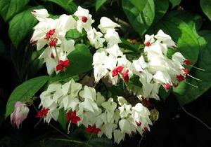 Комнатной цветок с белыми цветками