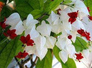 Цветок клеродендрум