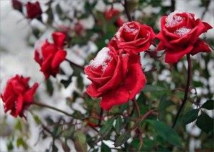Картинки по запросу Как правильно ухаживать за розой.