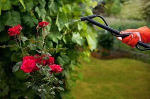 Правила ухода за розами весной обрезка и подкормка, обработка против болезней и вредителей,