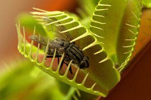 Венерина мухоловка (дионея) особенности этого хищного растения, уход за цветком в домашних условиях