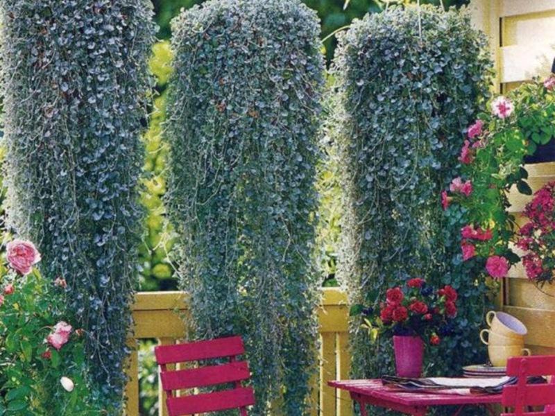Ампельные растения на даче и дома.