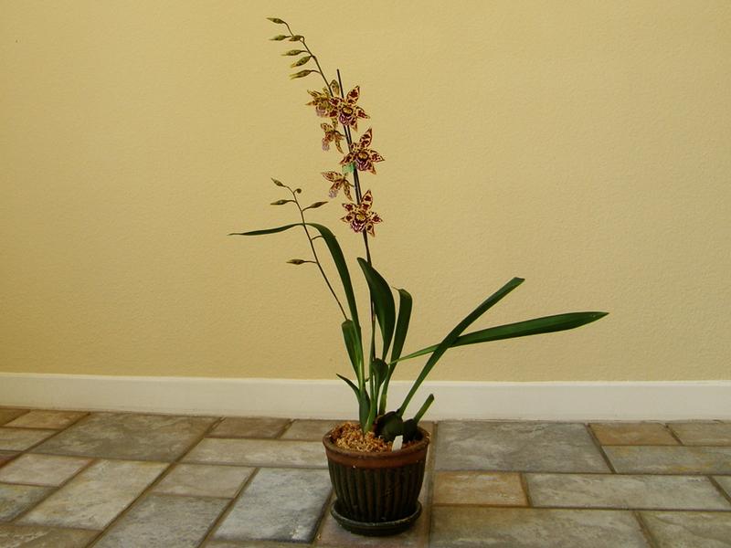 Как ухаживать за орхидеей в домашних