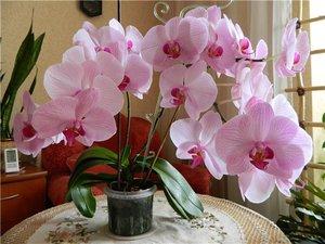 Орхидеи-уход за цветами