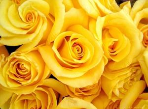 Розы жёлтые картинки