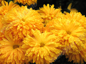 Цвет желтый цветов