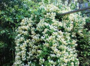 фото кустарника жимолость
