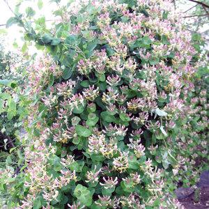 Жимолость Каприфоль - особенности растения