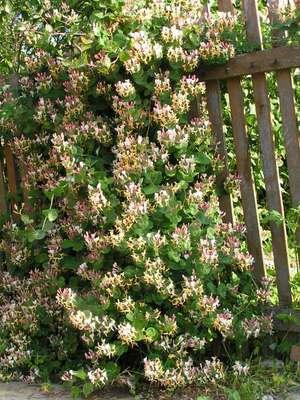 Жимолость - фото растения