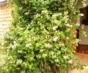 Жимолость - это красивое декоративное растение.