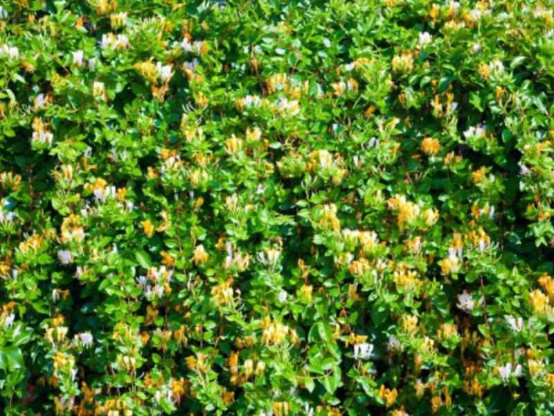 Жимолость козья - декоративный кустарник для дачи