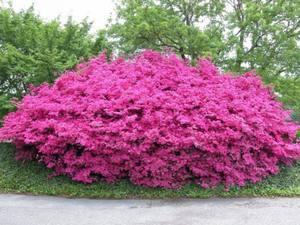 Цветок азалия как выглядит