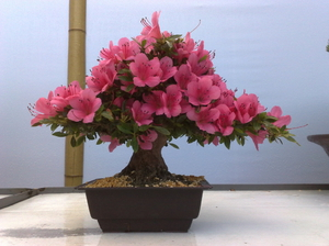 Цветы фото азалия