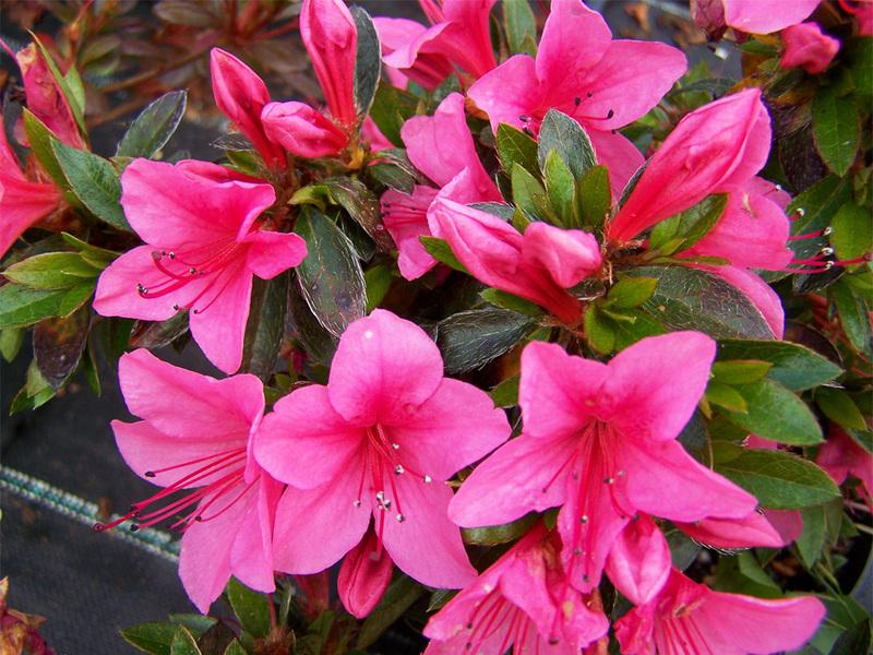 азалия цветок фото