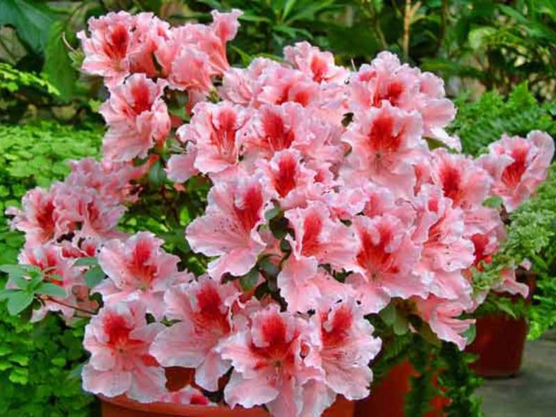 АЗАЛИЯ домашняя и садовая Уход цветы листья в домашних