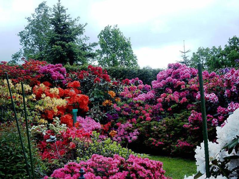 Цветок азалия фото и уход в домашних условиях 56