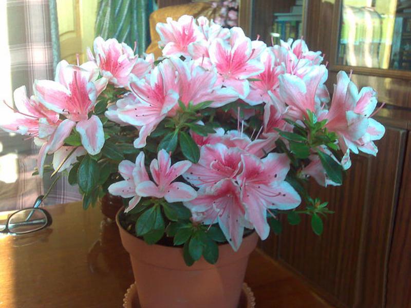 Цветок азалия фото и уход в домашних условиях 48