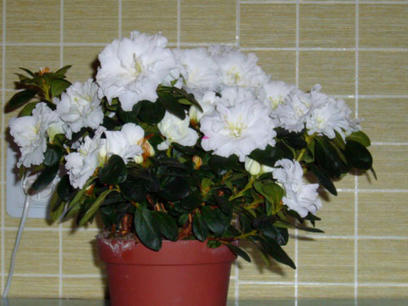 Цветок азалия фото и уход в домашних условиях 100