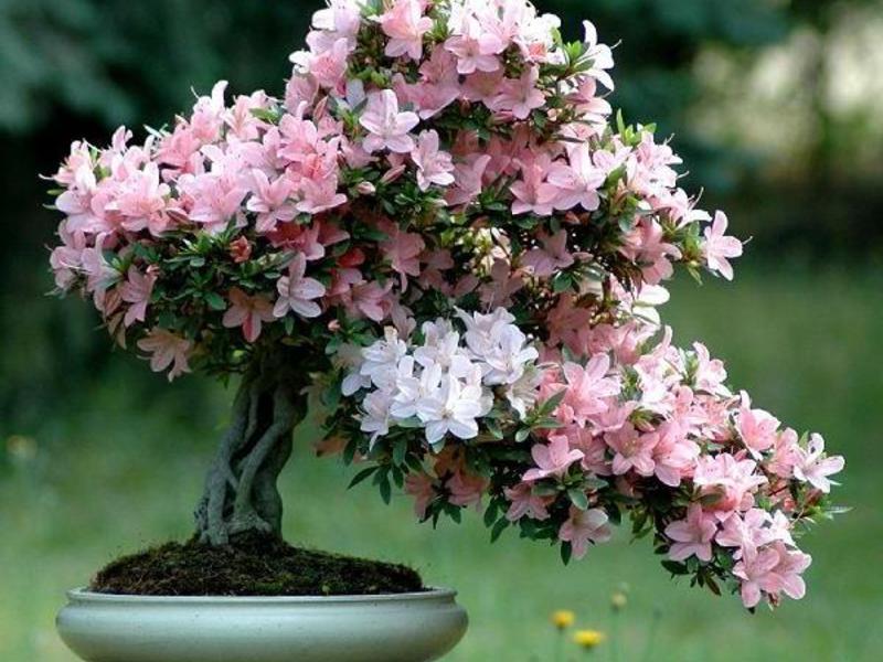 Цветок азалия фото и уход в домашних условиях 83
