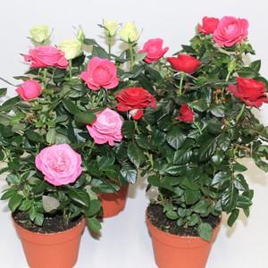 Особенности выращивания комнатных роз в домашних условиях
