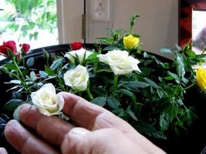 Роза в горшке как ухаживать