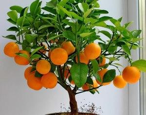 Как вырастить мандарины