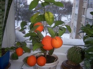 Как вырастить лимон из косточки в домашних условиях пошагово фото