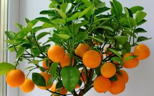 Как вырастить мандарин из косточки и привить его в домашних условиях - пошаговая инструкция