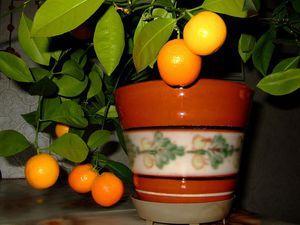 Прививка мандаринового дерева