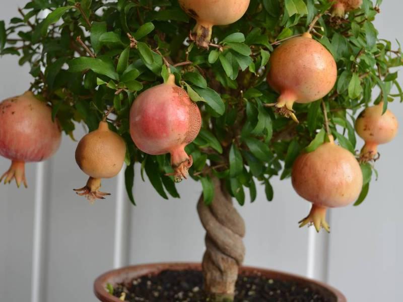Растение Гранат. Гранатовое дерево: описание, виды