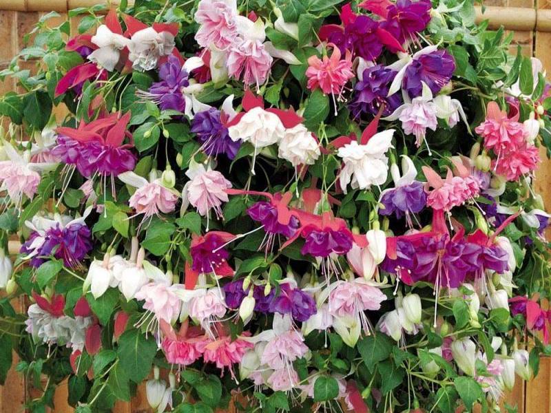 Цветы фуксия