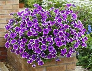 Летние цветы в саду название 36