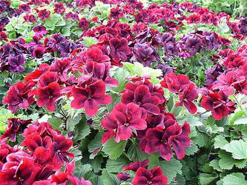 Фото однолетних цветов которые цветут всё лето 23