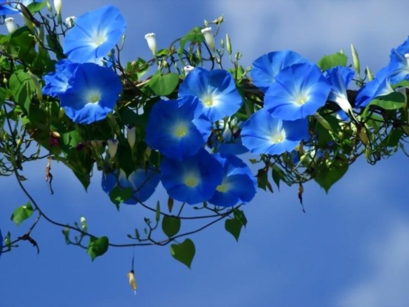 Низкорослые однолетние цветы