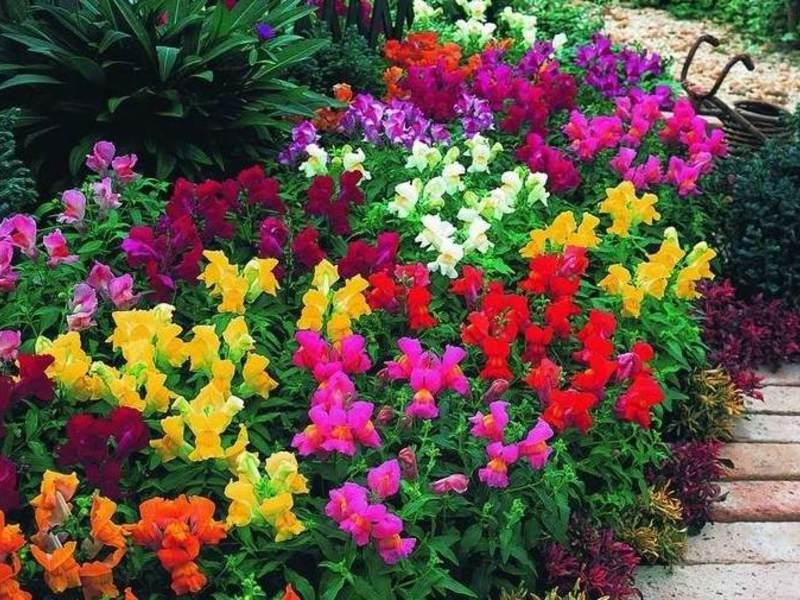 Садовые цветы - однолетники