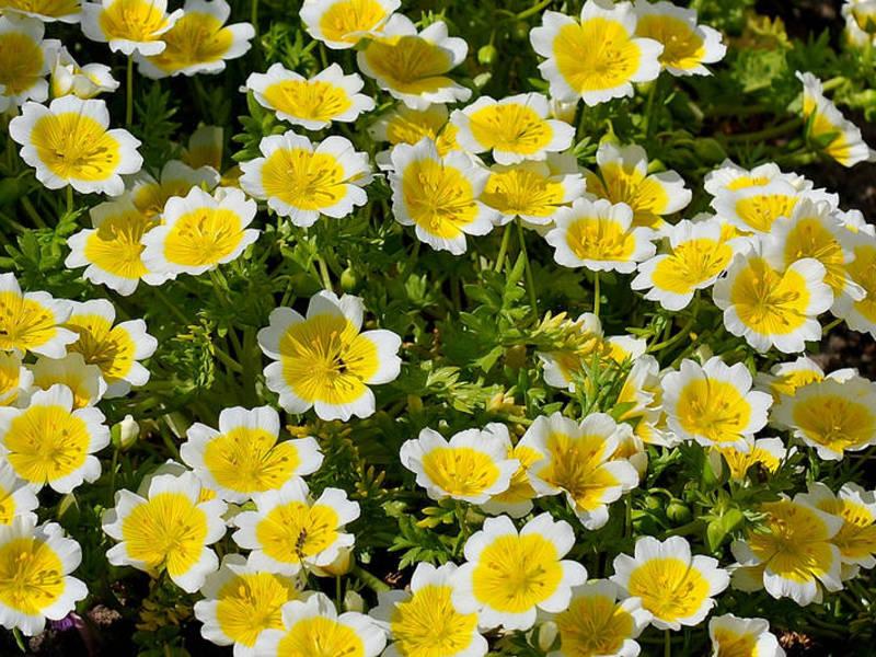 Дачные цветы цветущие все лето