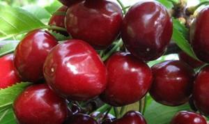 Как выбрать лучший самоплодный сорт черешни и вишни для Подмосковья описание и фото