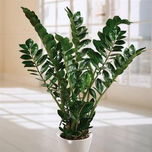 Вредители растения долларового дерева