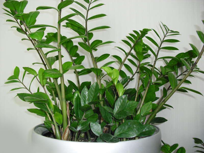 Размножение долларовое дерево уход в домашних условиях 934