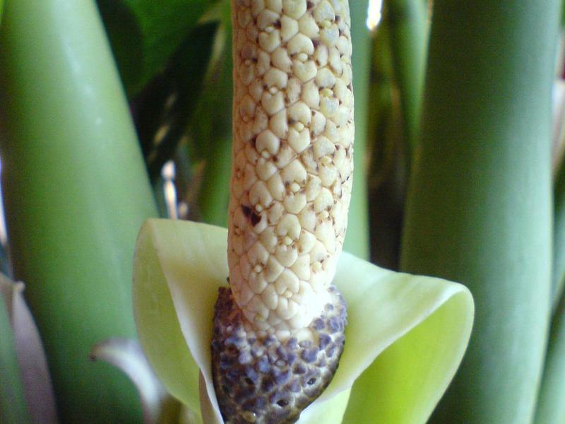Внешний вид растения замиокулькас