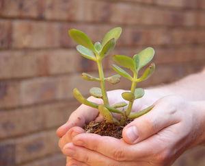 Нюансы пересадки растения толстянки