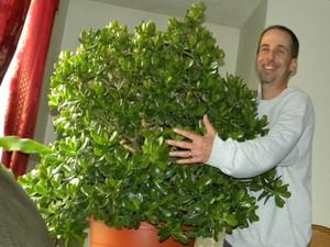 Рекомендации опытных цветоводов, как правильно выращивать денежное дерево
