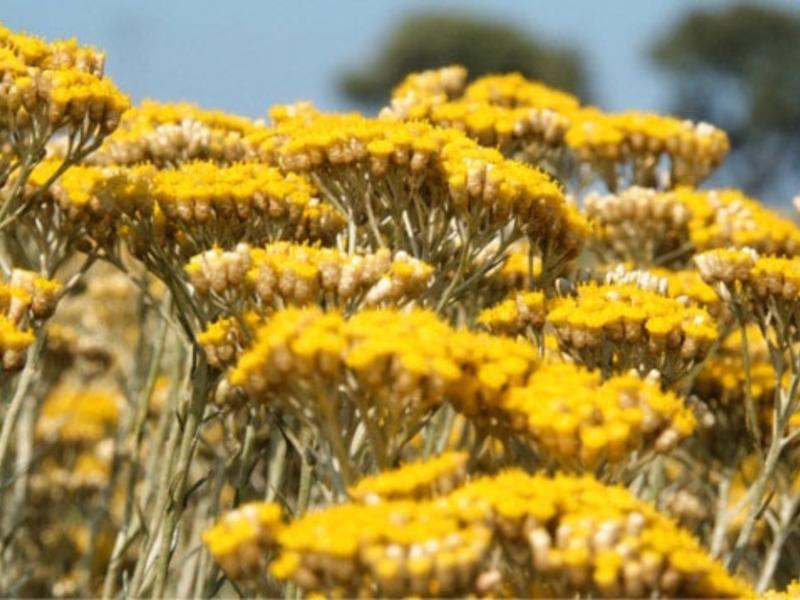 Цветы бессмертники фото